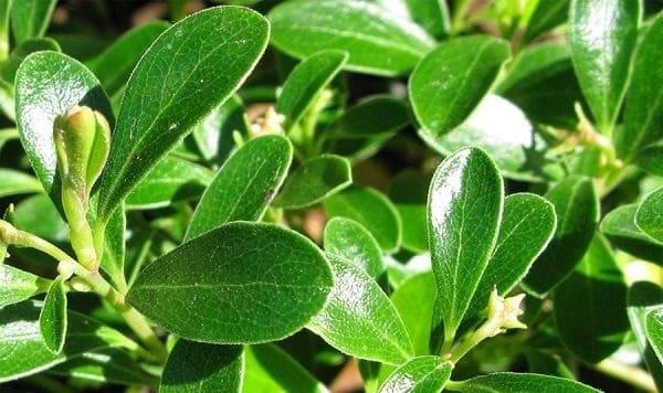 Толокнянка — свойства лечебные и противопоказания, применение
