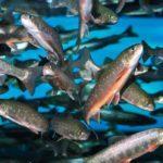 Голец — описание рыбы, польза, вред, как приготовить