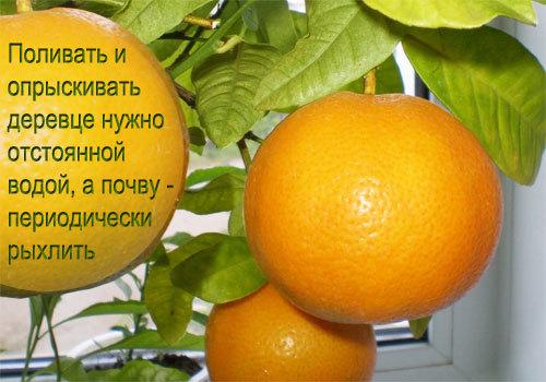 Апельсин — калорийность, польза, вред, состав