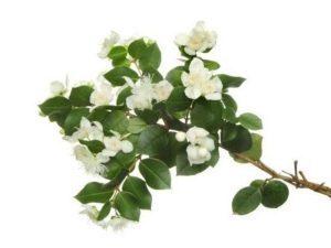 Растение мирт — полезные свойства, применение, состав, вред