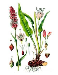 Горец змеиный — полезные свойства и противопоказания растения