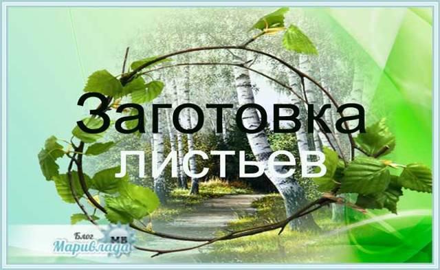 Березовые листья — лечебные свойства и противопоказания