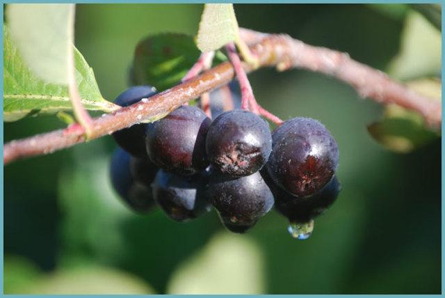 Ягоды аронии черноплодной: фото, польза и вред, состав