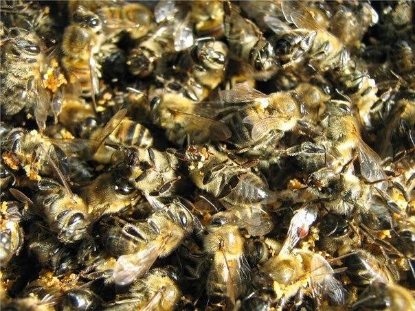 Пчелиный подмор: от чего помогает, польза и вред, применение